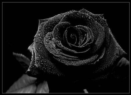 حينما يخيم اللون الاسود على blackflower2.jpg